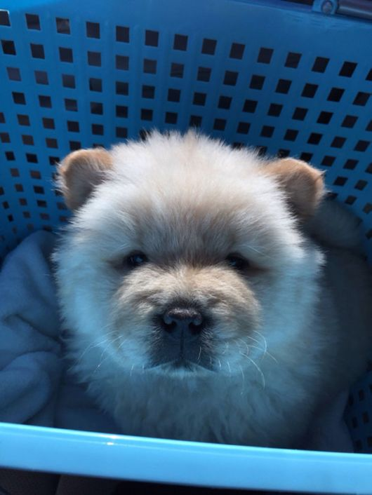 Fluffy Dogs That Actually Look Like Tiny Teddy Bears